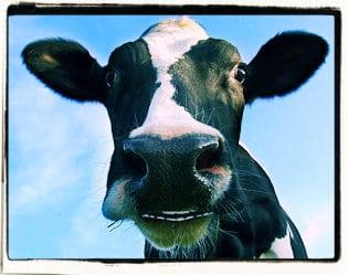 La vaca que hablaba